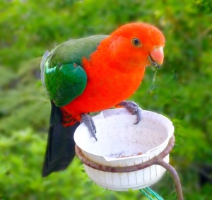Thirsty parrot, Leura, Blue Mountains, NSW.