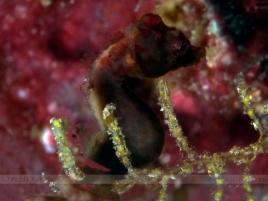 Hippocampus Severnsi